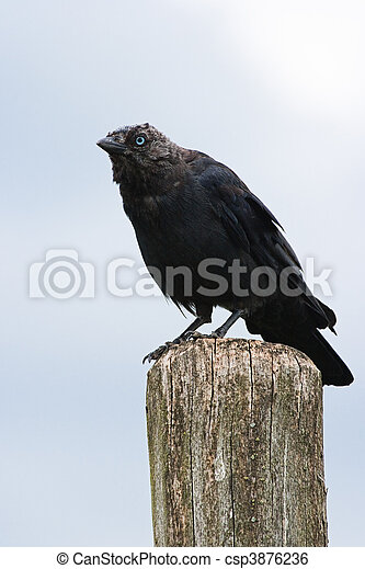 Jackdaw sitting on a picket - csp3876236