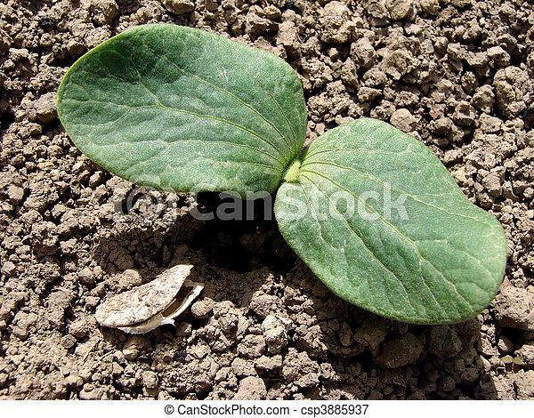 image de citrouille plant jeune citrouille plant vide graine csp3885937 recherchez. Black Bedroom Furniture Sets. Home Design Ideas