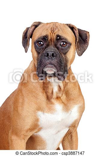 Boxer breed dog - csp3887147