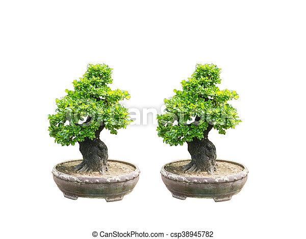 bilder von bonsai baum kiefer bonsai kiefer baum auf wei es csp38945782 suchen sie. Black Bedroom Furniture Sets. Home Design Ideas
