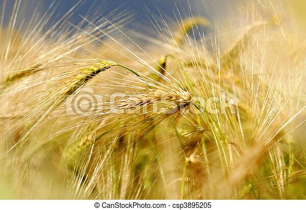 barley field - csp3895205