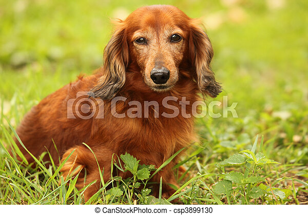 dachshund outdoor closeup - csp3899130