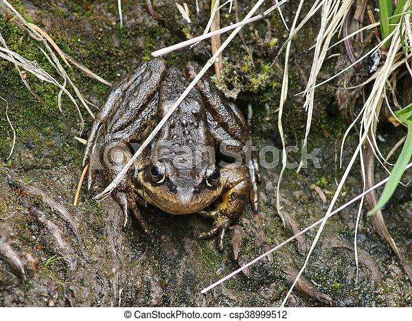 Cascades Frog - Rana cascadae - csp38999512