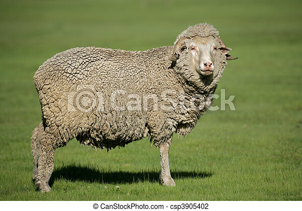 Merino sheep - csp3905402