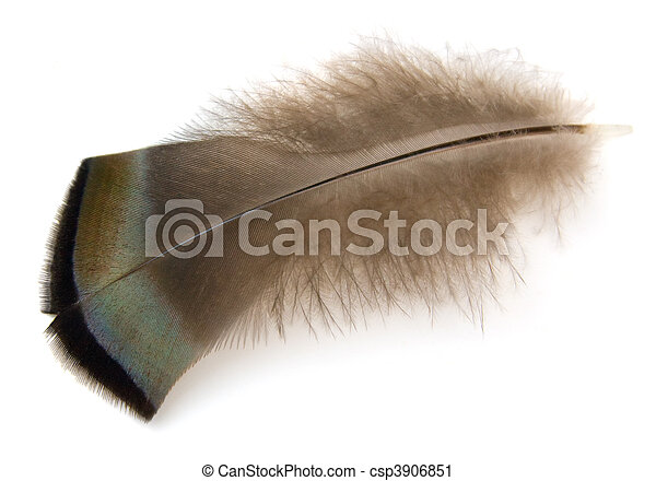 Turkey Feather - csp3906851