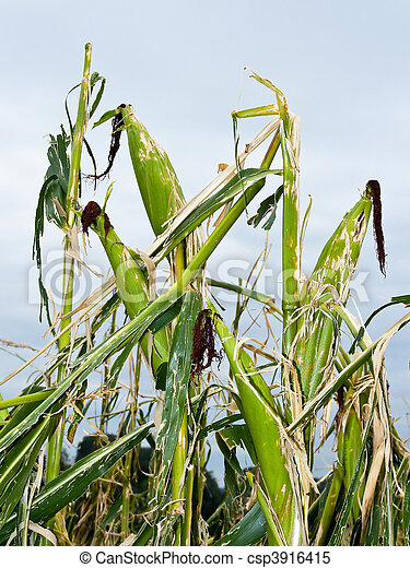 Hail damage. Kinked maize to hail - csp3916415