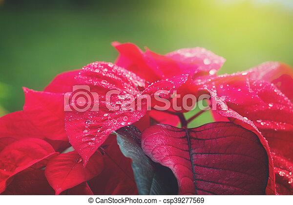 garden with poinsettia flowers or christmas star - csp39277569