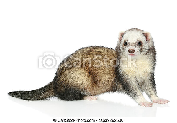 Ferret on a white background - csp39292600