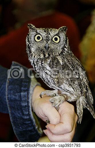 Screech Owl on Hand