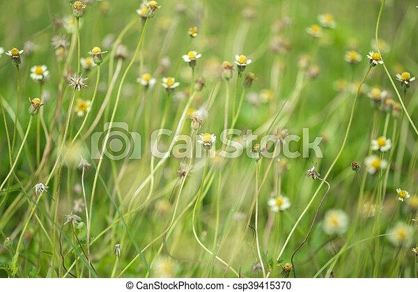 Image de pollen peu fleur jaune fer blanc mauvaise herbe peu csp39415370 - Mauvaise herbe fleur jaune ...