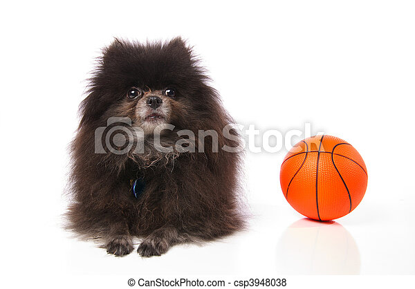 Pomeranian with a basketball - csp3948038