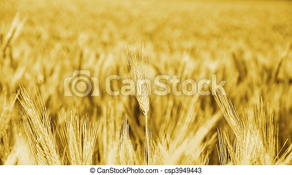 golden wheat big field corn cultures - csp3949443