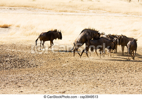 Bluewildebeest mating in the Kgalagadi - csp3949513