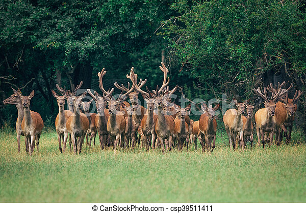 a herd of red deer in a forest - csp39511411