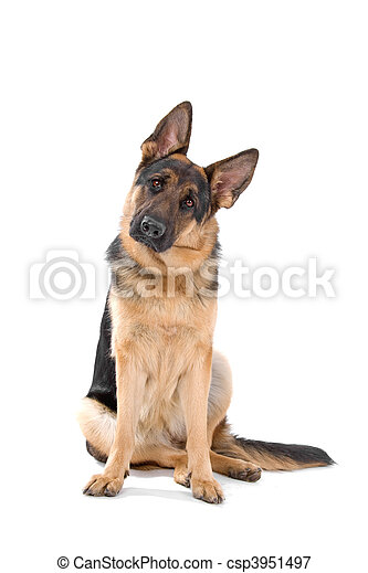 German shepherd dog - csp3951497