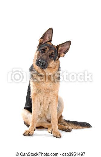 German shepherd dog - csp3951497