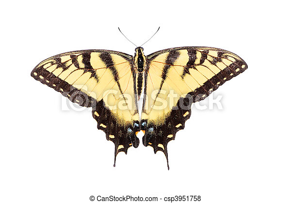 Isolated Tiger Swallowtail Butterfly - csp3951758