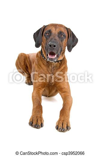 rhodesian, ridgeback, cão - csp3952066