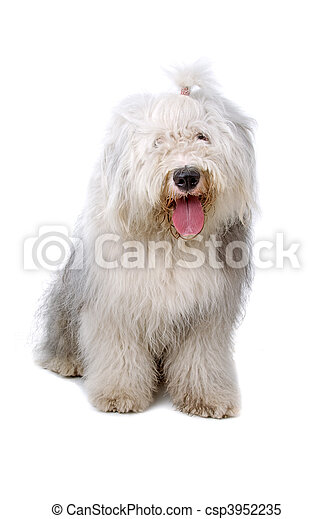 old english sheepdog, bobtail - csp3952235