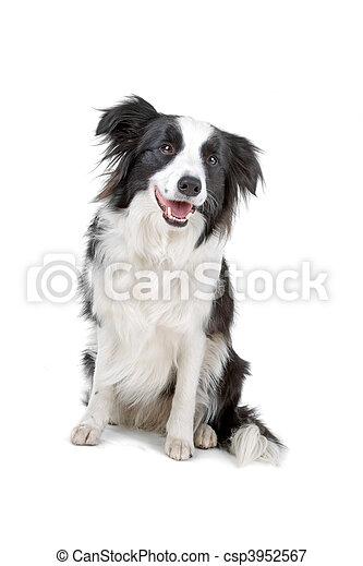 Black and white border collie dog - csp3952567