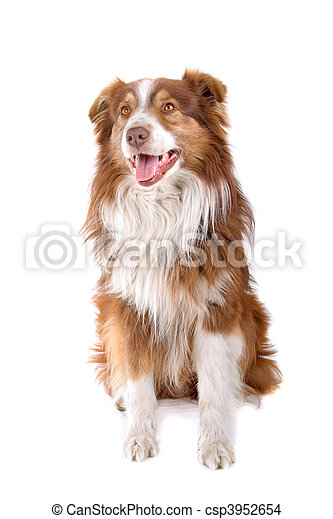 Australian shepherd dog  - csp3952654
