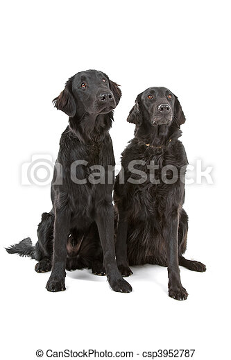 Two flat coated retrievers - csp3952787