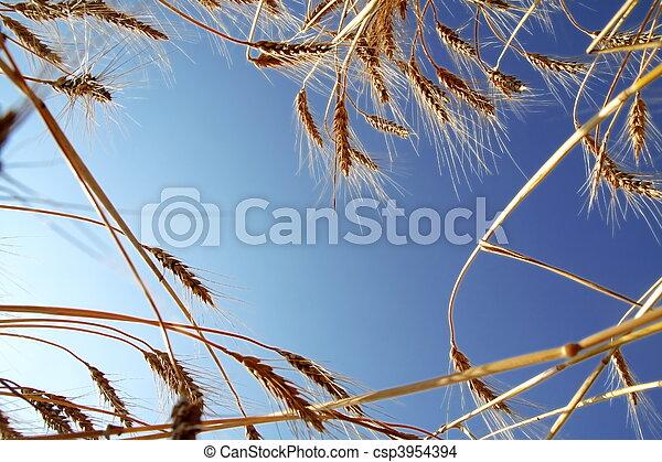 藍色, 小麥, 天空, 成熟, 針對 - csp3954394