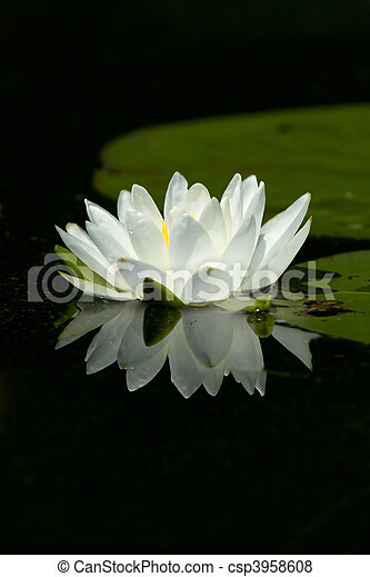 Wild White Lily Pad Flower With Reflection On Calm Water - csp3958608