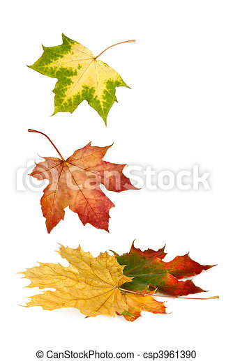 Colorful maple leaves falling down - csp3961390