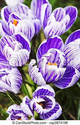 bulbo, flor, Açafrão - csp3974198