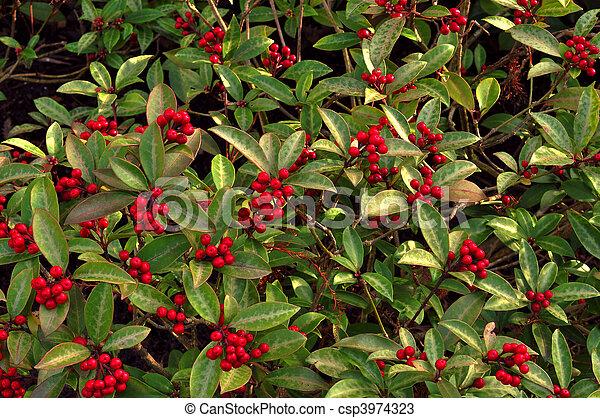 Archivi fotografici skimmia japonica archivio di for Skimmia pianta
