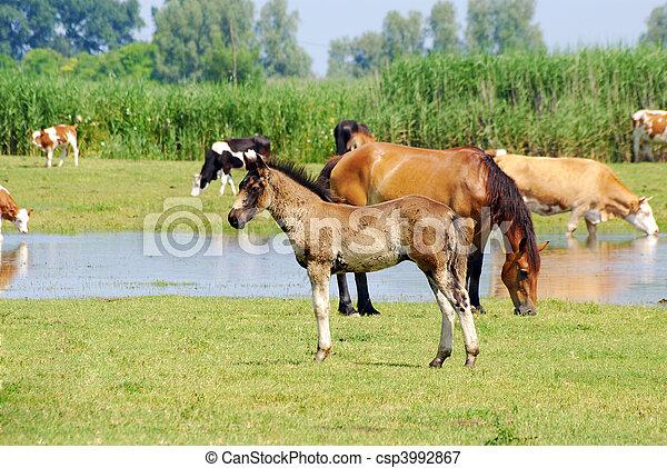 caballos, y, vacas, en, pasto - csp3992867