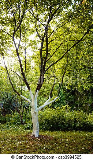 White apple tree trunk. Pest control. - csp3994525
