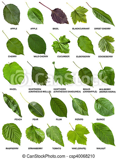 Stock de fotograf a de conjunto hojas rboles verde - Lista nombre arbustos ...