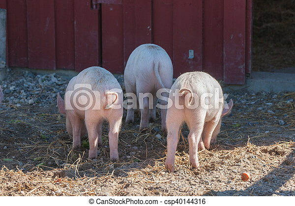 Tree little pigs with curly tails - csp40144316