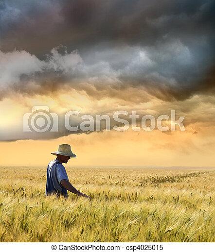 Farmer checking his crop of wheat - csp4025015