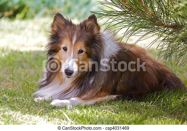 Shetland Sheep dog (Sheltie) - csp4031469