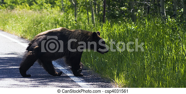 Bear in Glacier National Park