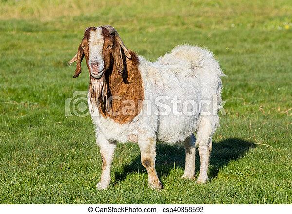 Billy Goat - csp40358592