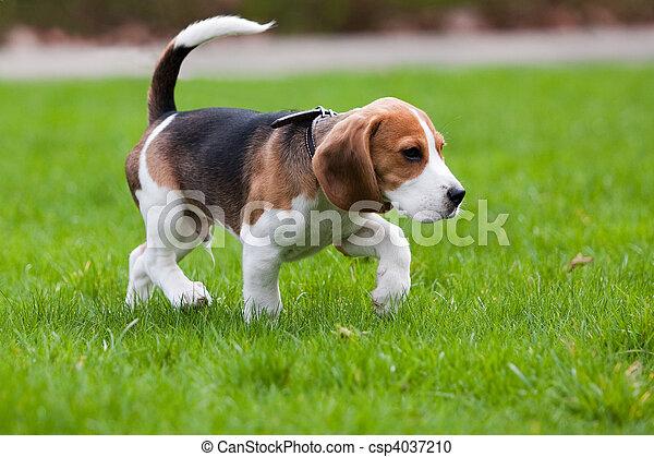 Beagle dog on green grass - csp4037210