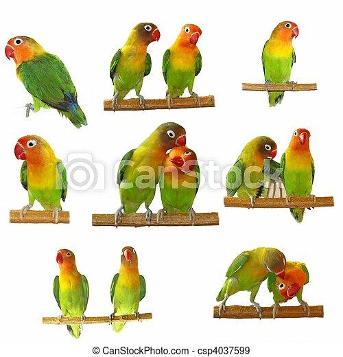 lovebirds, Conjunto,  agapornis-fischeri - csp4037599