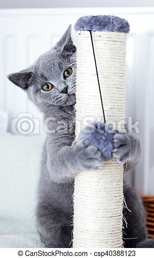 Young cute cat scratching his claws on a scratcher. The British Shorthair pedigreed kitten with blue gray fur