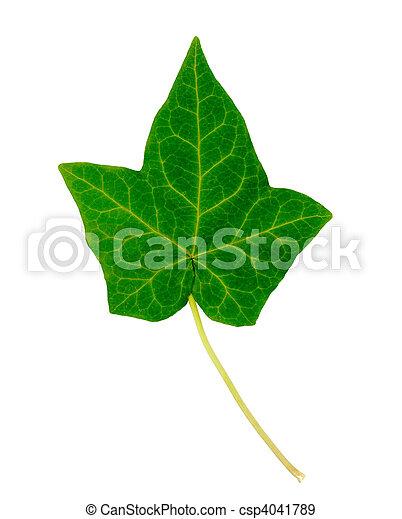 English Ivy Leaf - csp4041789