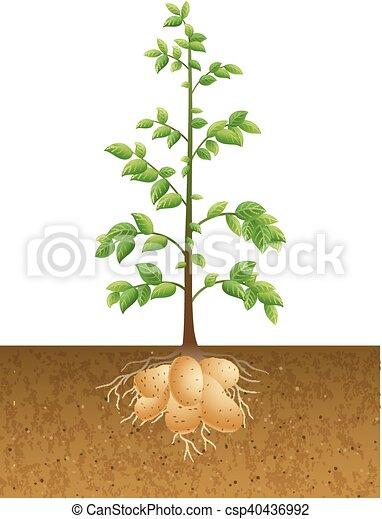 vecteurs eps de pommes terre plante racine vecteur illustration de csp40436992. Black Bedroom Furniture Sets. Home Design Ideas
