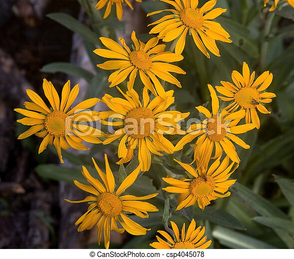 Meadow Arnica flowers - csp4045078