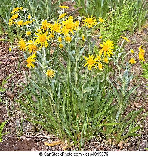 Meadow Arnica flowers and plant - csp4045079