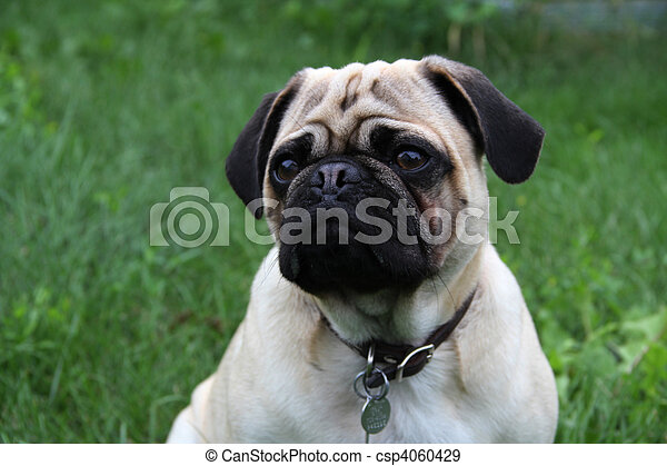 Pug Pup - csp4060429