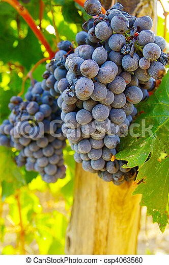 Ripe vineyard  red grapes on the vine - csp4063560