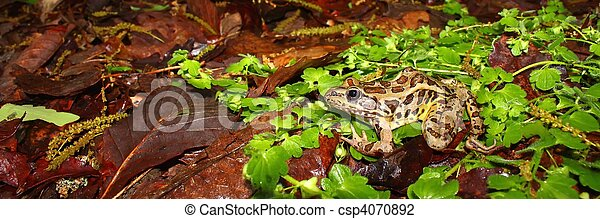 Pickerel Frog (Rana palustris) - csp4070892