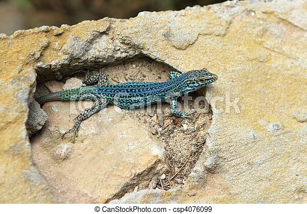 formentera lizard Podarcis pityusensis formenterae - csp4076099
